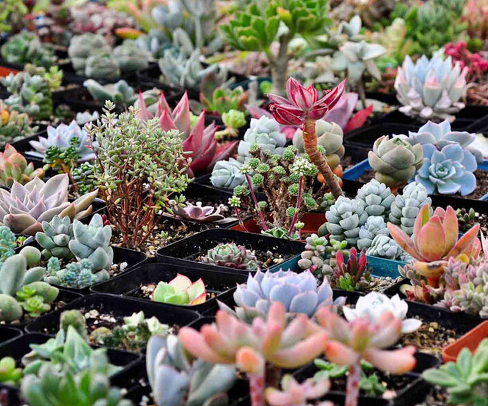 Mixed Succulent Plant Seeds