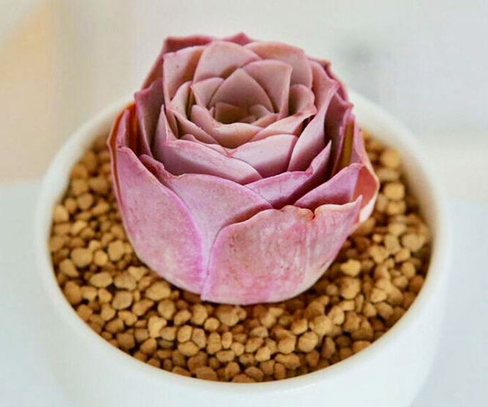 Pink Mountain Rose Succulent Plant