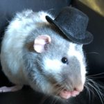 Top Hats For Small Pets 1